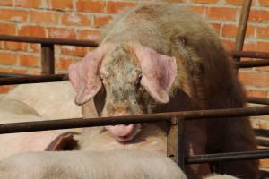 ФАС запретила работникам обанкротившегося свинокомплекса «Пермский» стать собственниками предприятия